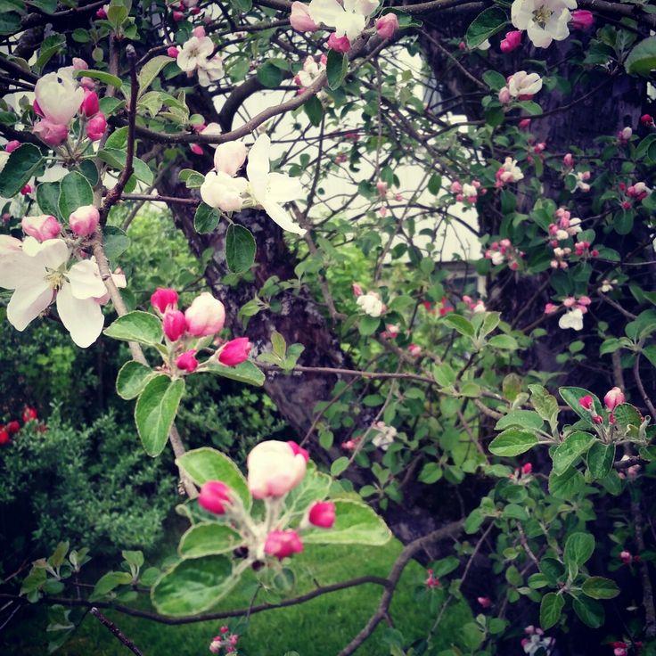 Swedish: Ett Äppelträd  English: an apple tree