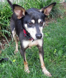 Charlie:   Miniature Pinscher/Chihuahua Mix - We folks at Big Fluffy Dog Rescue like just what our name says: Big Fluffy Dogs. Every once in a while we get what we call an honorary fluffy. A dog who may not be big or fluffy, but has a heart bigger than a dog 10 times his size. Meet Charlie, the honorary fluffy. He is a 4 year old min pin x who found himself in need of a home. This little guy weighs in at 10 lbs, and has managed to charm the pants off of everyone that meets him.