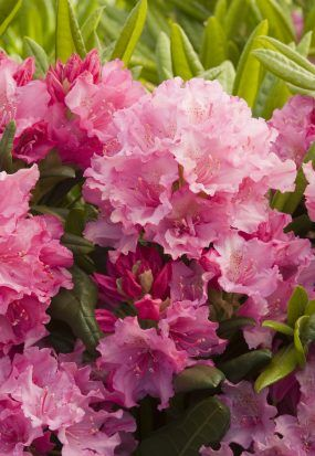 55517ce42ebf1 Haaga Rhododendron - Plant Library - Pahl's Market - Apple Valley, MN |  Perennial | Rhododendron plant, Evergreen flowering shrubs, Evergreen shrubs