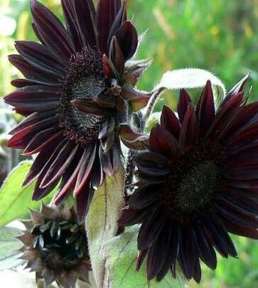 Black sunflowers