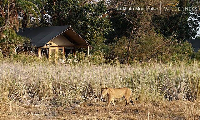 Lions at Busanga Bush Camp