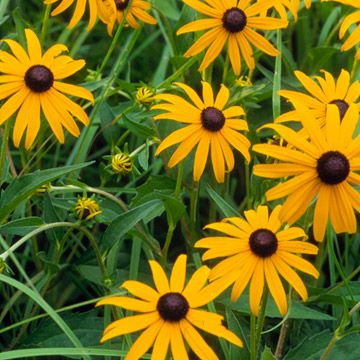 Black-Eyed Susan-If summer heat makes your garden fade, add this versatile plant. Hot temperatures bring out the best in this summer border and container favorite.    Plant Name: Rudbeckia fulgida    Growing Conditions: Full sun and well-drained soil    Size: To 3 feet tall and 2 feet wide    Grow it with: Black-eyed Susans make for a great addition to a casual garden bed, as do the summer blooms of accenting phlox.    Zones: 4-9