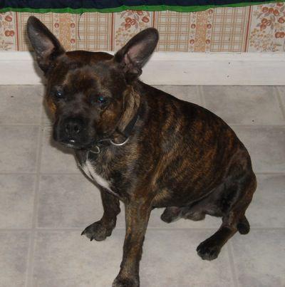 American Boston Bull Terrier (American Pit Bull Terrier/Boston Terrier Hybrid).