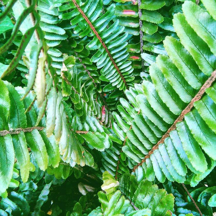 Ferns are on the planet 350 million years! I always thought their spirals symbolize the sacred flow of life.    Well, apart from all that, their tops are delicious, plus they absorb toxic substances from the soil.   #foraging #foragingforfood #herbalmedicine #alternativemedicine #naturalhealth #holistichealth #holistichealing #spiral #plantsthatheal #fern #greece #herbsasfood#wildgreens