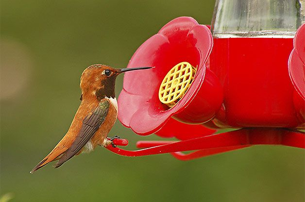 Hummingbird Sugar Water 101.. Attract hummingbirds (or increase their traffic) in your yard with these expert sugar water tips