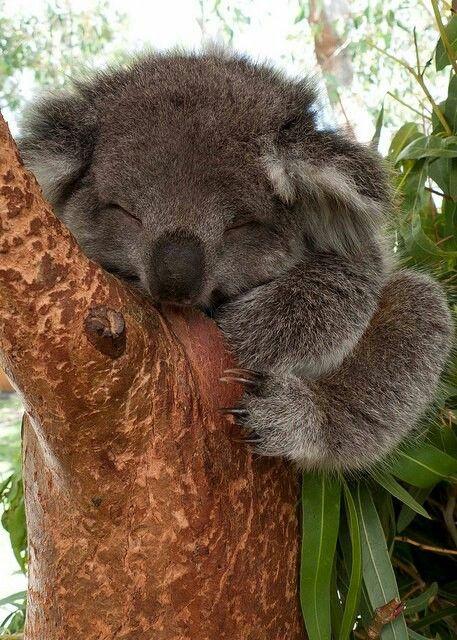 Cucciolo di koala....