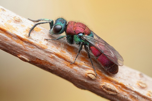Red backed cuckoo wasp