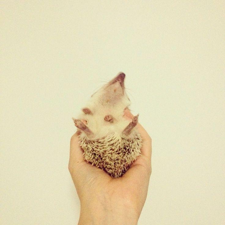 Happy #pet #hedgie #hedgehog