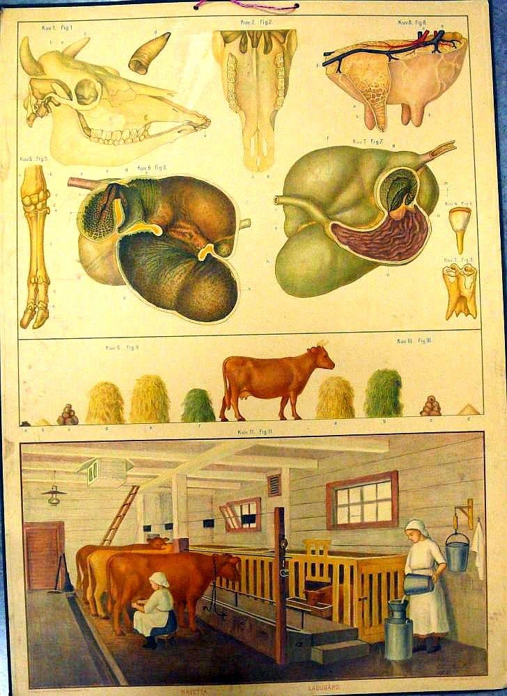Opetustaulu, lehmä ja navetta