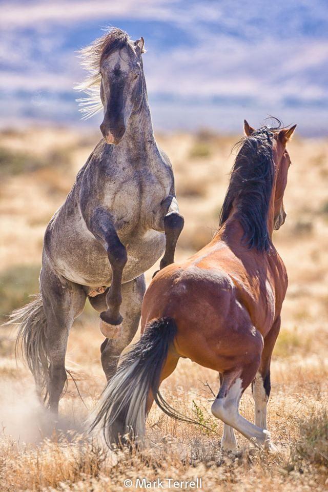 Wild horses in Nevada                                                       …