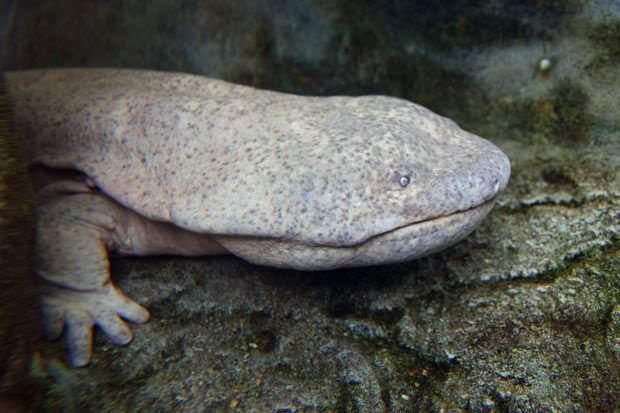 Giant Chinese Salamander. The world's largest amphibian - it can grow to 6ft long - is being eaten to extinction in its native areas of central and southern China.