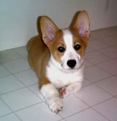 Welsh Corgi | Pembroke Welsh Corgi Breed Information | Dog breed insight