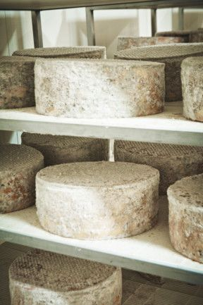 Wheels of blue vein cheese mature at the King Island Dairy.....yum.