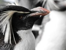 SANCCOB at Cape St Francis in the 4th Wonder of our World rehabilitates injured or sick #penguins. #nature