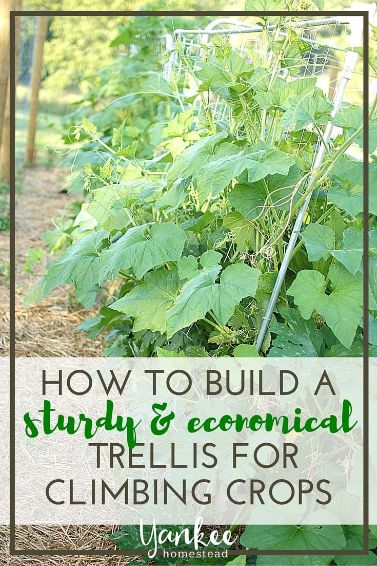 Do you grow zucchini, squash, pumpkins or other vining crops? You need to build this trellis!