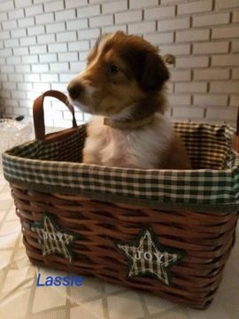 Litter of 9 Collie puppies for sale in PITTSTON, PA. ADN-42899 on PuppyFinder.com Gender: Female. Age: 4 Weeks Old