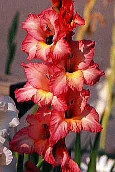Gladiola - Lily's birth flower