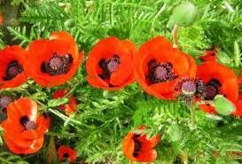 Image result for papaver orientale