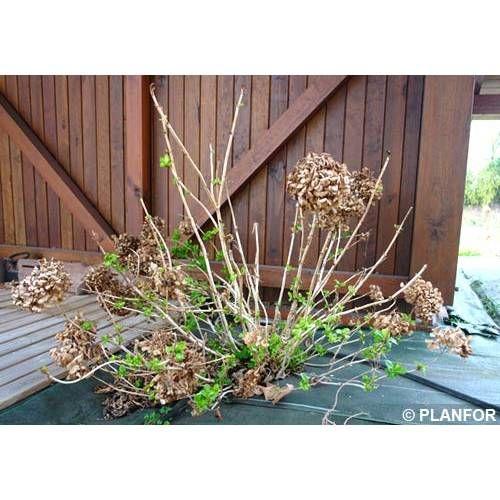 Las 25 mejores ideas sobre poda de hortensias en pinterest - Hortensias cuidados poda ...