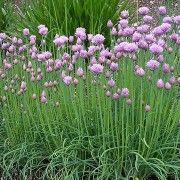 Allium schoenoprasum/ chives