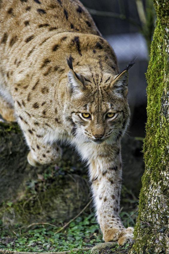 Pin by Kimberly MORRILL on CATSDomestic Cats, Tigers