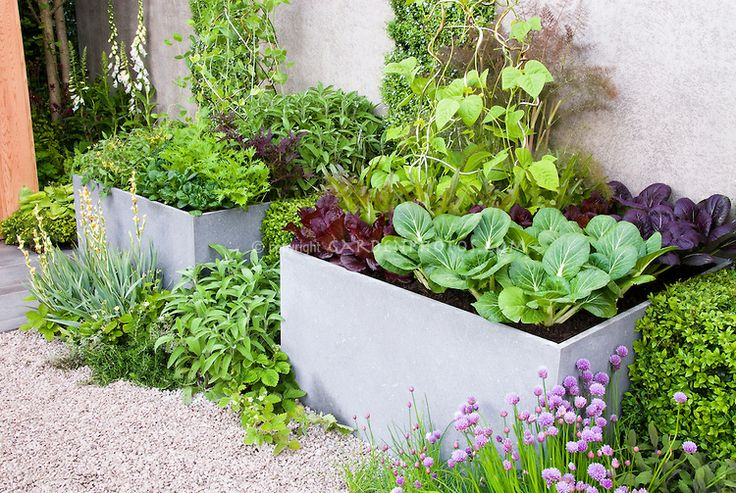 Raised bed vegetable and herb garden, with mixture of Pak Choi cabbages, chives Allium, red lettuces, herbs fennel, climbing beans, Digitalis foxglove, gravel patio, house and garden wall, boxwood shrub Buxus