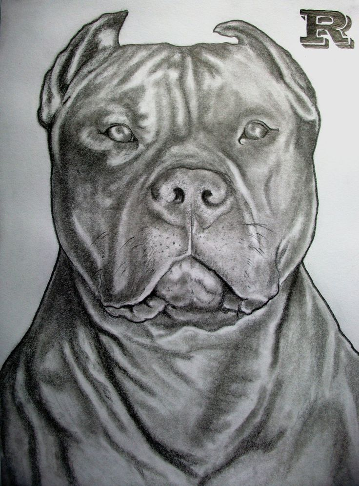 pitbull drawing ideas/ insperation