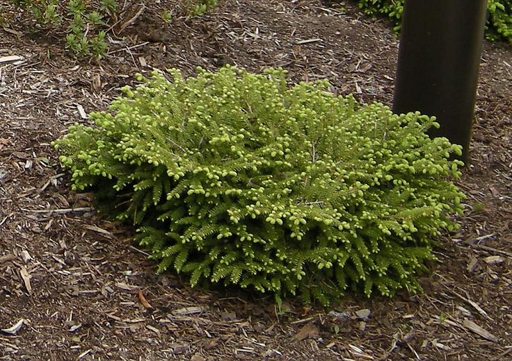 Picea bird 39 s nest spruce evergreen shrub slow growing 3 39 t for Slow growing trees for front yard