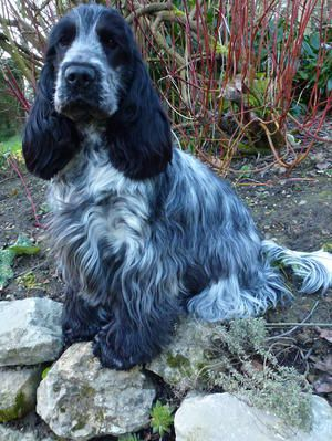 Blue Roan Cocker Spaniel Rojoys Take it Easy