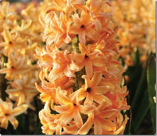 17 Best Images About Hyacinths On Pinterest Gardens