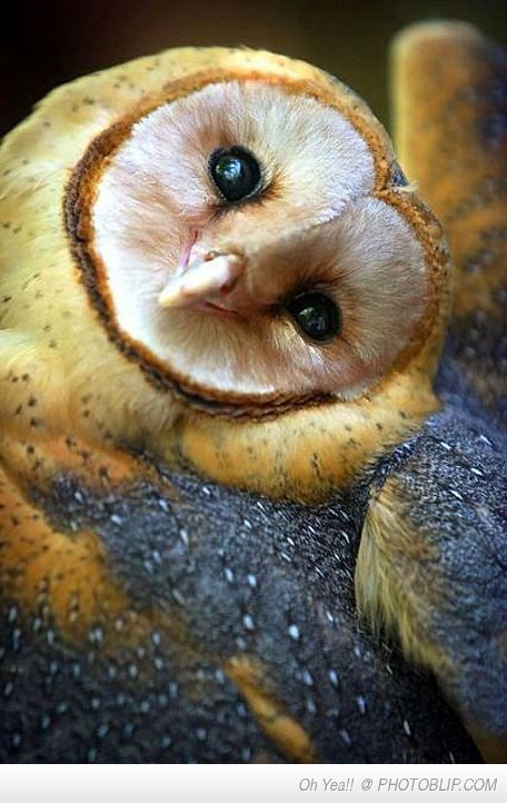 Ridiculously Photogenic Owl