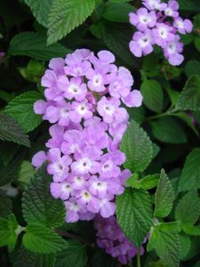 Lantana, Purple Lantana sp. Unlike the bush varieties, these only reach heights of twelve inches, but can spread up to three feet in width. Available in gold, purple, or white.  FULL SUN; DEER TOLLERANCE HIGH