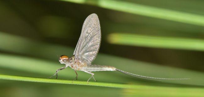éphémère, insecte volant en nuages