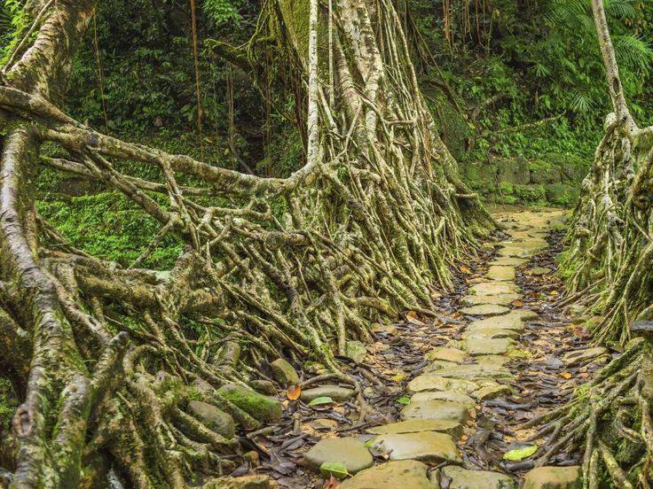 """Living Root Bridges of Cherrapunji, Meghalaya, India - rubber trees with roots so strong they can carry up to 50 people at once. Picture: Danielrao/Getty READ MORE:  <a href=""""http://www.escape.com.au/top-lists/17-top-things-to-see-in-india/image-gallery/b28650fc241f822883fe587d6d1f951f"""" target=""""_blank"""">16 things you have to see in India</a>"""