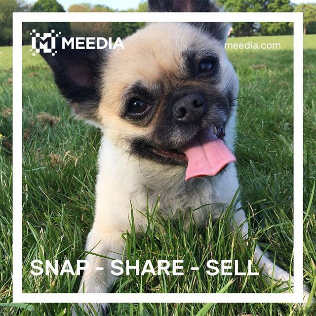 It's National Puppy Day! Something Bella clearly knows!  Check out meedia.com to make money with your bundle of fluff!    #doglife #dogstagram #dogs #doglovers #dogstagram #puppy #pug #chihuahua #chug #visualsoflife #exploretocreate #makemoney #earnmoney #instagoodmyphoto #justgoshoot #peoplescreatives #passionpassport #my_365 #flashesofdelight #bestphoto #igaddict #wearemeedia #meediacontent #meediaphotos #acolorstory #nothingisordinary #thehappynow #visualsgang #liveauthentic #nofilter