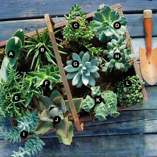 Delightful Dozen -- put that vintage soda crate to use with a mix of succulents: Container Gardens, Ideas, Succulents Container, Wooden Trays, Succulents Gardens, Aloe Zanzibarica, Succulent Containers, Ghosts Plants, Aloe Striata