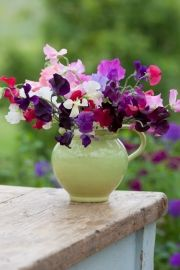 Sow your sweet peas seeds anytime from October until March, two seeds to a pot. You can sow your sweet pea seeds in March but growing sweet peas over winter will produce stronger, more robust plants. Use toilet rolls!