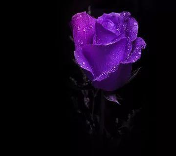 фиолетовые розы: 24 тыс изображений найдено в Яндекс.Картинках