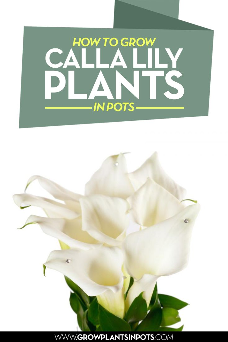 26 best grow plants in pots images on pinterest container plants how to grow calla lily plants in pots izmirmasajfo Image collections