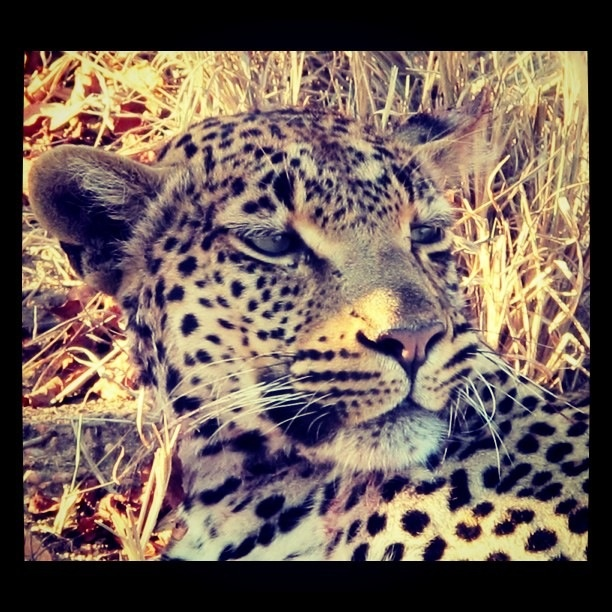 Female leopard resting after her Impala kill. I got within 2 meters.
