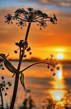 Sun Splash, took this in Holland,the silhouette of  beautiful flower with the sunset in the background turning the lake into wonderful shade of yellow and orange
