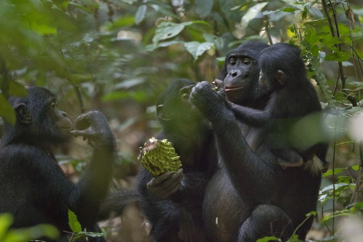 27 June 2011 A bonobo mother in Salonga National Park, in the Democratic Republic of Congo, shares a large fruit with its child and playmate, while the male (on the left) looks interested but is not allowed to eat.