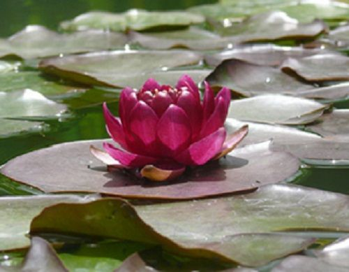 Lotus Container Ponds | ... Lily HardyWaterLily Water Lotus Mini WaterLily MarginalPond Plants