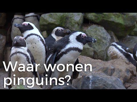 Wonen pinguins alleen op de zuidpool? - YouTube