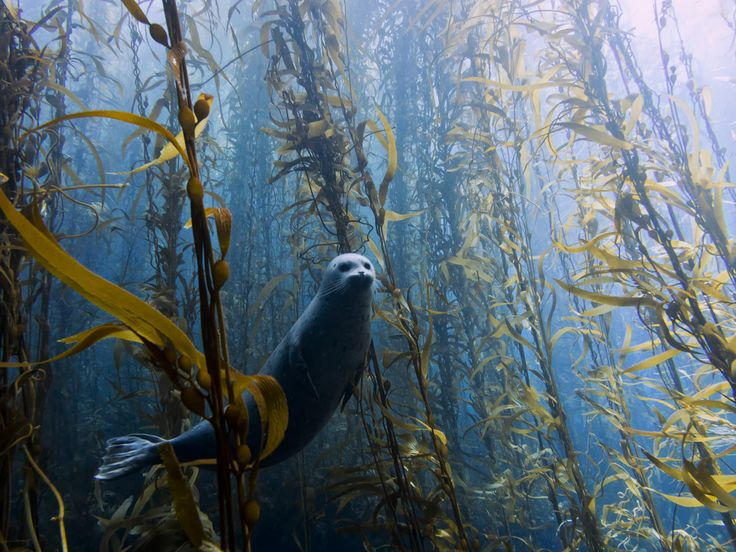"""Seal in a kelp forest: """"The most curious"""" by Kyle McBurnie"""