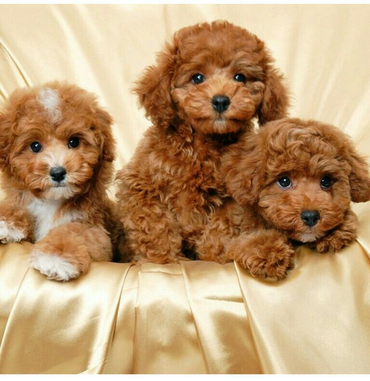 Red maltipoo puppies