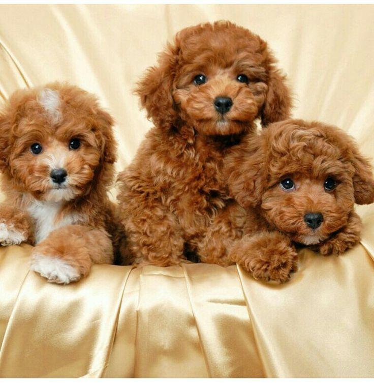 Brown maltipoos Puppy Love.. Pinterest Taps, Puppys