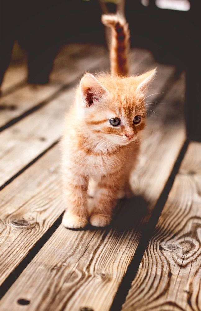 Orange and white kitten - just precious with his cute tail sticking up . . . what do you think he is staring at?