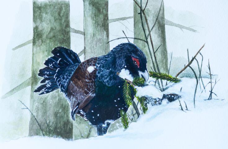 Głuszec w śniegu