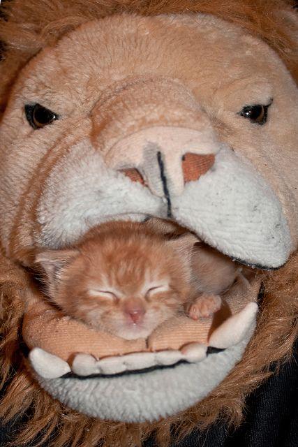 Catching zzz's wat nou de leeuw is de koning der dieren!!!! ha ik ben de keizer!!!!